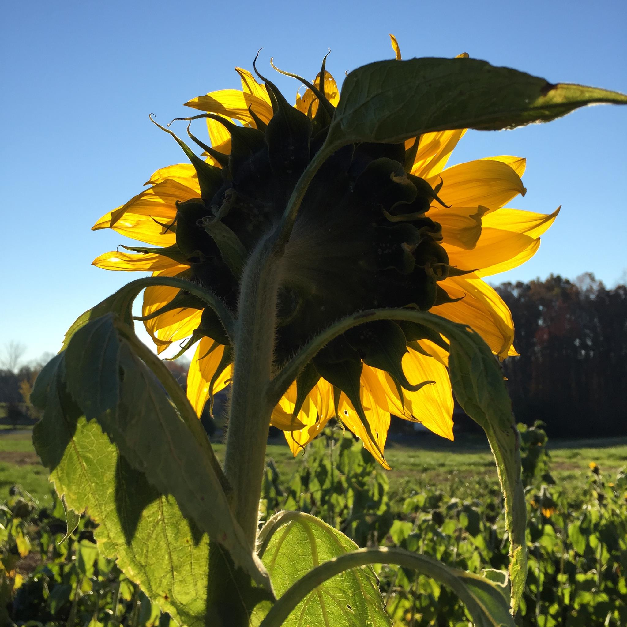 Lessons in a Sunflower